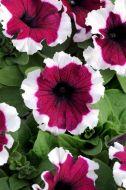 Dreams Burgundy Picotee (Petunia/grandiflora/pellets)