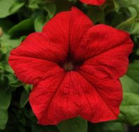 EZ Rider Red (Petunia/pelleted)