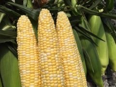 Tenderfoot Synergystic (corn, hybrid, bicolor)