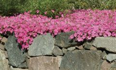 Pink Wave (Petunia/multiflora/pelleted)