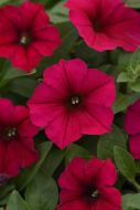 Wave® Carmine Velour (Petunia/multiflora/pelleted)