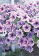 Opera Supreme Lilac Ice (Petunia/multiflora/pelleted)