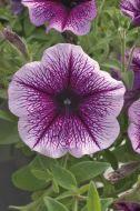 Opera Supreme Purple Vein (Petunia Pellets)