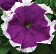 Velvet Frost™ (Petunia/grandiflora)