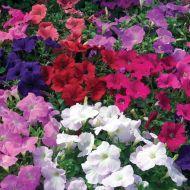Ramblin'™ Mix (Petunia/multiflora/pelleted)