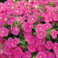 Ramblin'™ Pink (Petunia/multiflora/pelleted)