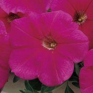 Ramblin'™ Neon Rose (Petunia/multiflora/pelleted)