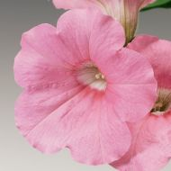 Ramblin'™ Peach Glo (Petunia/multiflora/pelleted)