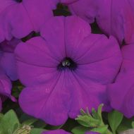 Ramblin'™ Violet (Petunia/multiflora/pelleted)