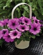 Ramblin'™ Sugar Plum (Petunia/pelleted/multiflora)