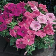 Ramblin'™ Calypso Mix (Petunia pellets/multiflora)