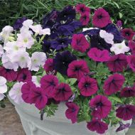 Ramblin'™ Razzleberry Mix (Petunia/multiflora/pelleted)