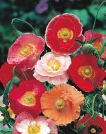 Double Shirley, Ryburgh Hybrids (Poppy)