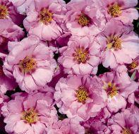 Sundial Pink (Portulaca/multi-pellet)