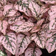 Splash Select™ Pink (Polka Dot Plant)