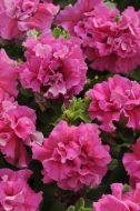 Double Cascade Pink (Petunia/double/pelleted)