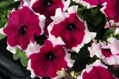 Limbo GP Burgundy Picotee (Petunia/grandiflora/pelleted)