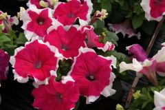 Limbo GP Rose Picotee (Hybrid/Petunia/Pelleted)