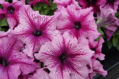 Limbo GP Orchid Veined (Petunia/grandiflora/pelleted)