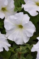 Supercascade White (Petunia/grandiflora/pelleted)