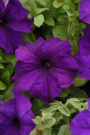 Supercascade Blue (Petunia/grandiflora/pelleted)