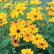 Indian Summer (Rudbeckia)
