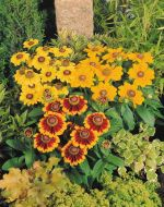 Autumn Colors (Rudbeckia)
