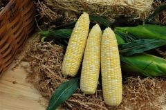 Gourmet Sweet™ Brand Signature XR (Corn/hybrid/bicolor)
