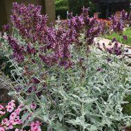 Lancelot (Canariensis Salvia)
