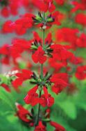 Summer Jewel Red (Salvia)