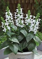 Summer Jewel White (Salvia)