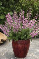 Summer Jewel Lavender (Salvia)