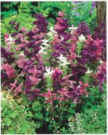 Horminum Tricolor Mix (Salvia)