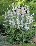 Evolution™ White (Salvia)