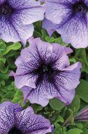 Daddy® Blue (Petunia/grandiflora)