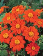 Goldfinger (Tithonia)