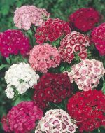 Stokes Tall Double Mix (Sweet William)