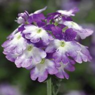 Tuscany Twister Purple Shades (Verbena/primed)