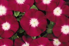 Pacifica Burgundy Halo (Vinca)