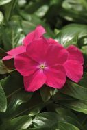 Mediterranean Hot Rose (Vinca)