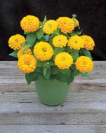 Preciosa Yellow (Zinnia)