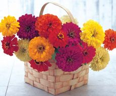 Sunshine Mix (Zinnia)