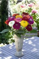 Benary's Giant Mix (Zinnia)