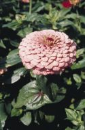 Benary's Giant Bright Pink (Zinnia)