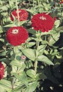 Benary's Giant Deep Red (Zinnia)
