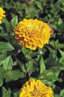 Benary's Giant Golden Yellow (Zinnia)