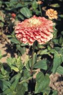 Benary's Giant Salmon Rose (Zinnia)