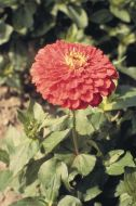 Benary's Giant Coral (Zinnia)