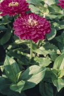 Benary's Giant Purple (Zinnia)