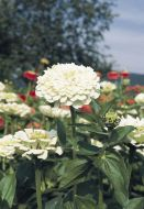 Benary's Giant White (Zinnia)